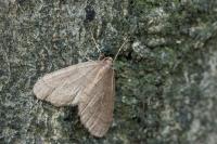 Kleine wintervlinder – Operophtera brumata – Winter Moth(a)