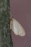 Kleine wintervlinder – Operophtera brumata – Winter Moth(a1)