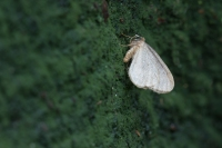 Kleine wintervlinder – Operophtera brumata – Winter Moth(b)