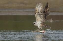 Visarend met snoek - Pandion haliaetus - Fish hawk (a1)