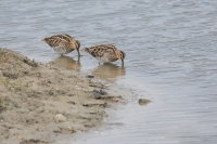 Watersnippen foeragerend – Gallinago gallinago – Common snipe(a3)