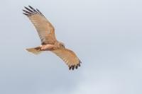 Bruine kiekendief man in de vlucht – Circus aeruginosus – Western MarshHarrier