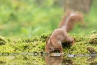 Eekhoorn drinkend – Sciurus vulgaris – Red squirrel(a2)