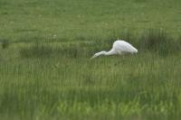 Grote zilverreiger foeragerend – Ardea alba – Great Egret(a1)