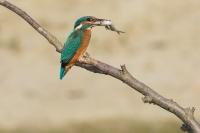 IJsvogel met voorn – Alcedo atthis – King fisher(a)