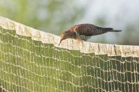 Koekoek vrouw met engerling – Cuculus canorus Linnaeus – Cuckoo(a)