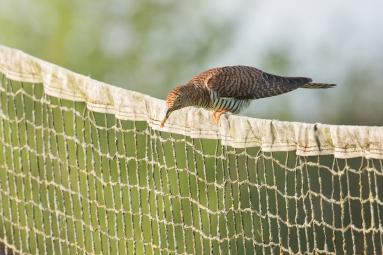 Koekoek vrouw met engerling - Cuculus canorus Linnaeus - Cuckoo (a)