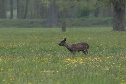 Reebok donker exemplaar - Capreolius- capreolius - Roe deer (b2)