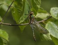 Smaragdlibel – Corduliaaenea(b)