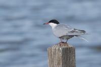 Visdiefje – Sterna hirundo – Common tern(b1)