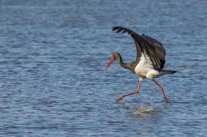 Zwarte ooievaar foeragerend - Ciconia nigra - Black stork (2)