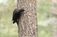 Zwarte specht vrouw – Dryocvopus martius – Black Woodpecker(a1)