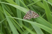 Mi-vlinder – Euclidia mi – Mother Shipton(a)