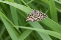Mi-vlinder – Euclidia mi – Mother Shipton(a1)