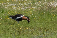 Roodhalsgans foeragerend – Branta ruficollis – Red-breasted Goose(a)
