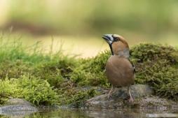 Appelvink man - Euthrix potatoria - Hawfinch (b2)