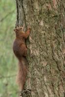 Eekhoorn in dennenboom – Sciurus vulgaris – Red squirrel(a)