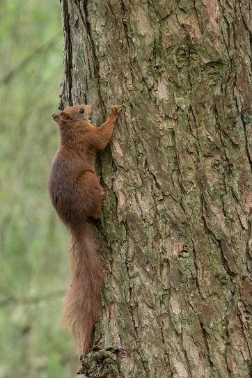 Eekhoorn in dennenboom - Sciurus vulgaris - Red squirrel (a)