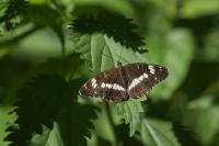 Kleine ijsvogelvlinder – Limenitis camilla – White Admiral(b2)