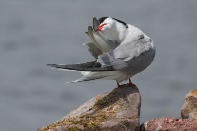 Visdiefje verzorgd veren - Sterna hirundo - Common tern (b1)