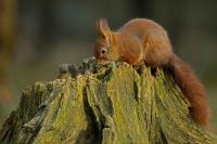Eekhoorn op boomstronk – Sciurus vulgaris – Red squirrel(a4)
