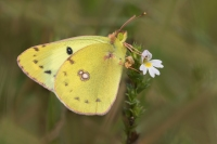 Gele luzernevlinder – Colias hyale – Pale Clouded Yellow(a4)
