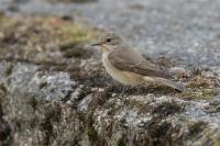 Grauwe vliegenvanger – Muscicapa striata – Spotted Flycatcher(a1)