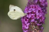Groot koolwitje – Pieris brassicae – Large White(b)