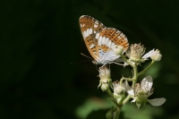 Kleine ijsvogelvlinder – Limenitis camilla – White Admiral(b4)