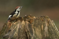 Middelste bonte specht – Dendropocos medius – Middle spotted woodpecker(a2)