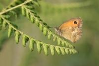 Oranje zandoogje – Pyronia tithonus – Gatekeeper(b1)