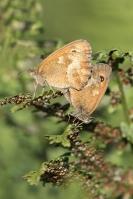 Oranje zandoogjes parend – Pyronia tithonus – Gatekeeper(a)
