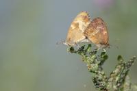 Oranje zandoogjes parend – Pyronia tithonus – Gatekeeper(a2)