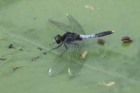 Sierlijke witsnuitlibel – Leucorrhinia caudalis – Lilypad Whiteface(a1)