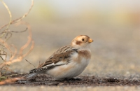 Sneeuwgors vr – Plectrophenax nivalis – Snow bunting(a)
