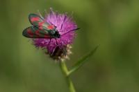 St Jansvlinder – Zygaena filipendulae – Six-spot Burnet(b)