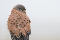 Torenvalk – Falco tinnunculus – Kestrel(a1)