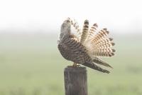 Torenvalk met poetsbeurt – Falco tinnunculus – Kestrel(a1)