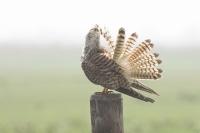 Torenvalk met poetsbeurt – Falco tinnunculus – Kestrel(a2)