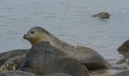 Gewone zeehond op rotsen - Phoca vitulina (a) - Habor seal (a)