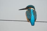 IJsvogel op draad – Alcedo atthis – King fisher(a)