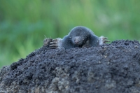 Mol komt naar boven – Talpa Europea – Mole(a)