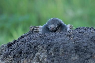 Mol komt naar boven - Talpa Europea - Mole (a)