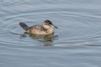 Rosse stekelstaart vrouw – Oxyura jamaicensis – Ruddy Duck(b)