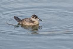 Rosse stekelstaart vrouw - Oxyura jamaicensis - Ruddy Duck (b)