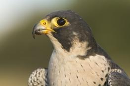 Slechtvalk kopportret - Falco Peregrinus - Peregrine Falcon (a)