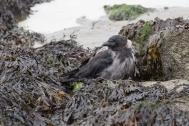 Bonte kraai - Corvus cornix - Carrion crow (a)
