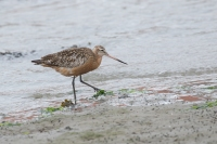 Rosse grutto – Limosa lapponica – Bar-tailed Godwit(a)