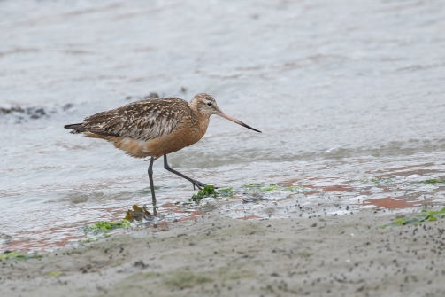 Rosse grutto - Limosa lapponica - Bar-tailed Godwit (a)